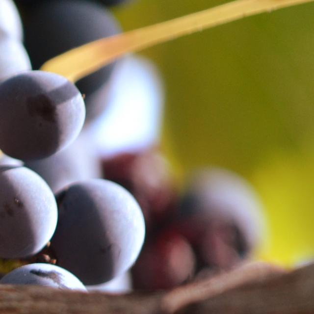 Raisin du Vignobles Romain