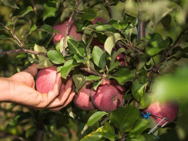 Pommes du Tarn-et-Garonne